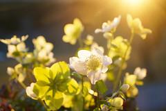 Christrosen trotzen dem Winter (Mariandl48) Tags: christrosen schneerosen sonnenaufgang sonnenstrahlen sonne sommersgut wenigzell steiermark austria
