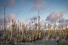 Sommer :-) Anklamer Stadtbruch/Moor Peene-Mündung 2019 | Tair 11A 135mm f/2.8 M42 | IMGP5966 (1) (horschte68) Tags: anklamerstadtbruch peene mündung peenetal moor bog marsh marshland mire fen fenland swamp baumstumpf treestump bird vogel vögel natur nature naturschutz conservation composition tair11a135mmf28m42 pentaxkp outside sonnenuntergang sunset birds wasser water river kormoran cormorant cormorants primelens manualfocus manuallens tair11a135mmf56