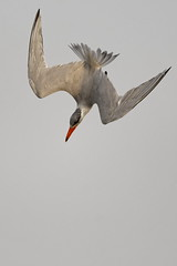 Sterne caspienne - Caspian Tern (happybirds.ch) Tags: happybirds gambie gambia nature afrique africa bird oiseau inflight envol flight flying vol volant caspian caspienne tern sterne sternecaspienne caspiantern red rouge