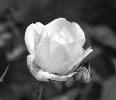 Who needs color (Eric Rincker Fotografie) Tags: flower flowers bloem bloemen flowerphotography bloemenfotografie roos rose blackandwhite photography fotogrografie zwartwit