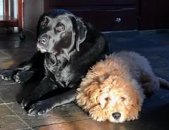 Bucky and Bentley, January 2020 (Thomas Hawk) Tags: california piedmont blacklab labrador goldendoodle puppy dog bentley bucky fav10 fav25 fav50 fav100