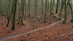 DSCF3466-out (szczym) Tags: trees sopot las zima liście winter leafs wet