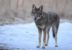 Eastern Coyote (male) (aj4095) Tags: eastern coyote animal canid nature wildlife outdoor nikon ontario canada