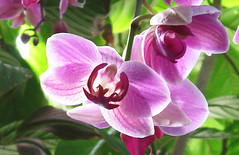 Backlit Pink (Puzzler4879) Tags: flower flowers orchid orchids pink pinkflowers pinkorchids nybg newyorkbotanicalgarden botanicalgardens publicgardens