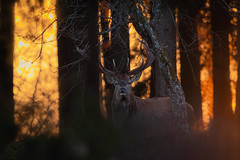 Deer Sunset (alexander_skaletz) Tags: deer sunset sun sunny wild wildlife life forest tree trees grass color animal sticks eyes nature earth planet germany eningen beautynature beauty eve evening winter cold leaves orange colors colorful
