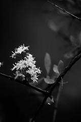 Flowers...! (masuda moon) Tags: canon photography flickr 2020 photographer google digital pov flowers flower monochrome black forest chrome 600d moody mood beautiful beauty moment ngc