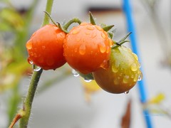 Wet Tomatoes (Anton Shomali - Thank you for over 3 million views) Tags: wettomatoes wet tomatoes tomato garden backyard summer season rain raindrops moist nikon coolpix p900 nature food saturated plant soggy water weather red green fruit vegetable