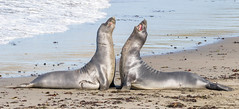 Practice Fighting (Ronda Hamm) Tags: 100400mkii california canon7dii sansimeon sealife animal beach elephantseal fight fighting mammal nature oceanlife outdoors pacificocean seal seals wildlife