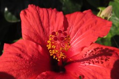 IMG_0376 Hibiscus (Fernando Sa Rapita) Tags: mallorca sarapita hibiscus red rojo flower flor canonpowershot powershotsx70hs macro nature