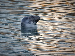 Happy Seal Saturday (Julie (thanks for 9 million views)) Tags: harbourseal animal water ripples light kilmorequay harbour maritime 100xthe2020edition mammal nikoncoolpixs9700 ireland irish nature wildlife