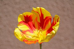 To cherish what remains of the Earth and to foster its renewal is our only legitimate hope of survival. ~~ Wendell Berry (Irene2727) Tags: nature flower flora tulip red yellow coth5