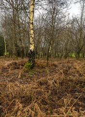 Winter in the woods (Through Bri`s Lens) Tags: sussex ashurst silverbirch winter fern flood rain brianspicer canon5dmk3 canon24105f4l polariser