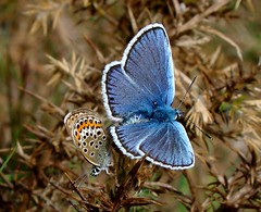 SS Blue mating pr (ericy202) Tags: butterfly summer 2011 sony h50 silver studded blue mating pair