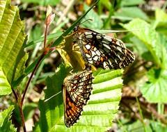 Heath Fritillary mating pr (ericy202) Tags: butterfly summer 2011 sony h50 heath fritillary mating pair