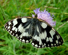 Marbled White (ericy202) Tags: butterfly summer 2011 sony h50 marbled white