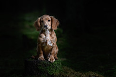 4 months (The Papa'razzi of dogs) Tags: spaniel workingspaniel puppy pet nature dog outdoor cocker whisky hund animal