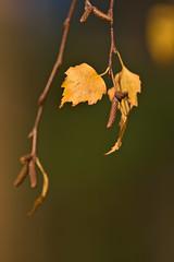Birch Catkins (pstenzel71) Tags: blätter natur pflanzen birke birch betula catkin darktable bokeh leaf ilce7rm3 sel100400gm autumn fall herbst