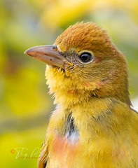 Summer Tanager (Thy Photography) Tags: summertanager wildlife animal avian animals sunrise sunset sunshine sanfranciscobayarea sonya9 sonya7rm4 sonya9ii bird backyard birds nature fullframe fe600mmf4gmoss flowers outdoor photography california portrait tanager oakland