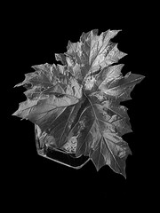 Acanthus (Wendy:) Tags: acanthus leaf mono lowkey