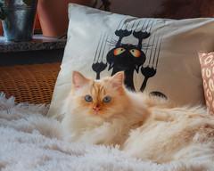 Good Kitty - Bad Kitty (FocusPocus Photography) Tags: tofu dragon katze kater cat kissen cushion sofa tier animal haustier pet