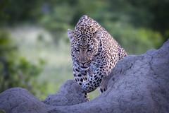 The eye of the panther (Nedko Nedkov) Tags: leopard female sabisand southafrica bigcat panthera