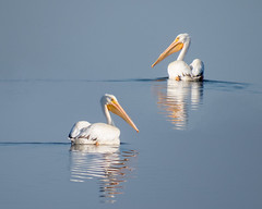 Two White Pelicans (Patti Deters) Tags: animal pelican water blue white ripples reflection swimming floating wildlife bird pelecanus wild nature fisheating erythrorhynchos outdoors birding birdwatching whitepelican summer bill orange gold yellow two couple pair aquatic simple minimal onocrotalus beak lake rufescens pattideters
