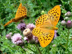 Silver Washed Fritillary male (ericy202) Tags: butterfly summer 2011 sony h50 silver washed fritillary male