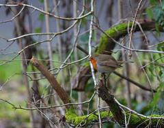 Sussex Robin (2020) (Adam Swaine) Tags: robin robinredbreast robins sussex wildlife counties countryside uk ukcounties britain british england english naturelovers nature seasons rspb birds gardenbirds englishbirds britishbirds canon 2020 county countrylanes lich moss woodland