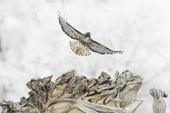 Red-tail Hawk Takes Off (Amy Hudechek Photography) Tags: redtailhawk hawk bird raptor winter snow tree takeoff flight colorado amyhudechekphotography nature wildlife