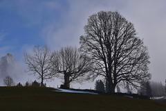 Toggenburg (Bergwandern Alpen) Tags: obertoggenburg baum tree nebel fog mist zwilicht twilight