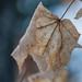 Winter Leaf, Hartley Park, Duluth 10/11/20