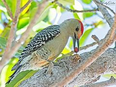 🇺🇸 Red-Bellied woodpecker FK 7843 (vickyoutenphoto) Tags: vickyouten redbelliedwoodpecker woodpecker wildlife nature nikon nikond7200 nikkor55300mm keylargo floridakeys usa