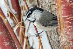 Mountain Chickadee (Gf220warbler) Tags: idaho chickadee poecile paridae passerine songbird