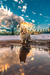 My Aprilis cat reflected at sunset (Vagelis Pikoulas) Tags: canon cat kitten pet animal 2020 winter january sun sunset sky tokina 1628mm landscape nature vilia village greece europe