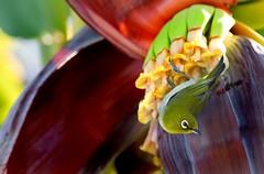Banana Blossom (Rising Tide Images) Tags: banana bananaflower mejiro nectar blossom bird japanesewhiteeye plants zosterops zosteropsjaponicus tinybird musa hawaii flowering pollinator berry orientalwhiteeye hawaiianbirds