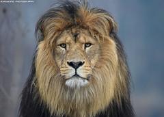 African lion - Safaripark Beekse Bergen (Mandenno photography) Tags: animal animals african lion lions safari safaripark park beekse bergen ngc nature nederland netherlands natgeo natgeographic bigcat big cat cats dierenpark dierentuin dieren discovery bbcearth bbc