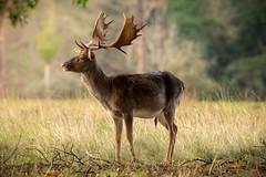 Fallow Deer (nikinno1990) Tags: nikon natura natgeoit natgeo naturebynikon fallowdeer deer nationalgeographic wildlife roedeer sun winter