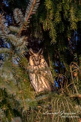 Hibou moyen-duc (Lawrencexx79) Tags: hibou animal owl nature tree regard sapin beautiful rapace bird oiseau
