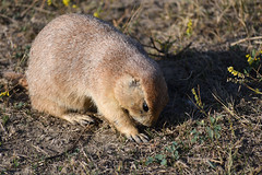 See Something Interesting? (Randy R...) Tags: prairiedog northdakota nikon nationalpark mammal d7500 plains nature animalplanet