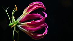 Gloriosa (manni0656) Tags: gloriosa