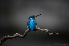 Common Kingfisher (chuek.chau) Tags: kingfisher birds wildlife asia hong kong china nikon nikon500mmf56epf planet earth life animal ngc common