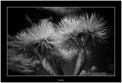 Dragon tree (Bartonio) Tags: bw canaryislands garafía ir islascanarias lapalma sonya7ir blanconegro drago infrared modified