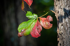 holding on (Pejasar) Tags: tree leaves color change autumn grove oklahoma
