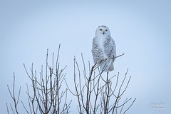 Harfang des neiges - Snowy Owl (claudefortin.cf) Tags: aves birds buboscandiacus harfangdesneiges snowyowl strigidae strigidés strigiformes oiseaux