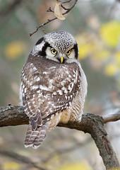 Northern hawk owl / Hiiripöllö (Kimmo Järvinen) Tags: owl pöllö northernhawkowl canon helsinki finland bird surniaulula canon400mmf56 7d nature lintu linnut hiiripöllö