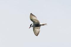 Tern 4 (frozenpuddle) Tags: westerntreatmentplant melbourne victoria australia tern