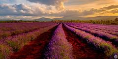 Bridestowe Lavender Farm (John_Armytage) Tags: bridestowelavenderfarm lavender bridestowe tasmania sunset lavenderfarm nikond850 nikonaustralia tamron1530 johnarmytagephotography panorama panoramic pano clouds flowers instagram