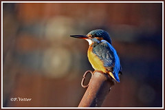 Martin-Pêcheur 200111-02-P (paul.vetter) Tags: nature faune oiseau vogel bird martinpêcheur alcedoatthis commonkingfisher martínpescadorcomún guardarios eisvogel alcédinidé