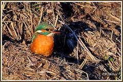 Martin-Pêcheur 200111-01-P (paul.vetter) Tags: nature faune oiseau vogel bird martinpêcheur alcedoatthis commonkingfisher martínpescadorcomún guardarios eisvogel alcédinidé