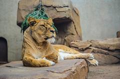 (Laura Shakespeare.) Tags: cat bigcat animal artiszoo artis amsterdam zoo nikon lioness lion